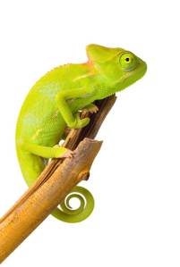 The Authentic Chameleon:  red, green or brown.  Still a chameleon.